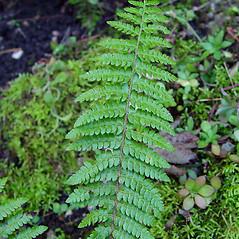 Leaf: Polystichum braunii. ~ By Arthur Haines. ~ Copyright © 2021. ~ arthurhaines[at]wildblue.net