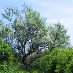 Plant form: Elaeagnus angustifolia. ~ By Alexey Zinovjev. ~ Copyright © 2019. ~ webmaster[at]salicicola.com ~ Salicicola - www.salicicola.com/