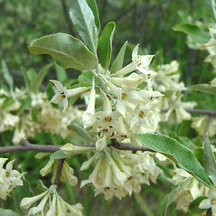 Flowers: Elaeagnus umbellata. ~ By Arthur Haines. ~ Copyright © 2020. ~ arthurhaines[at]wildblue.net