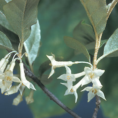 Flowers: Elaeagnus umbellata. ~ By Adelaide Pratt. ~ Copyright © 2020 New England Wild Flower Society. ~ Image Request, images[at]newenglandwild.org