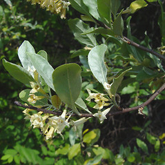 Flowers: Elaeagnus umbellata. ~ By Donald Cameron. ~ Copyright © 2020 Donald Cameron. ~ No permission needed for non-commercial uses, with proper credit