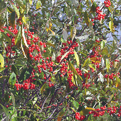 Fruits: Elaeagnus umbellata. ~ By Arthur Haines. ~ Copyright © 2020. ~ arthurhaines[at]wildblue.net