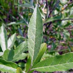 Leaves: Elaeagnus umbellata. ~ By Arthur Haines. ~ Copyright © 2020. ~ arthurhaines[at]wildblue.net