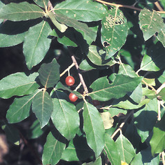 Leaves: Elaeagnus umbellata. ~ By Catherine Heffron. ~ Copyright © 2020 New England Wild Flower Society. ~ Image Request, images[at]newenglandwild.org