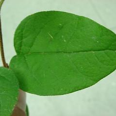 Leaves: Shepherdia canadensis. ~ By Glen Mittelhauser. ~ Copyright © 2021 Glen Mittelhauser. ~ www.mainenaturalhistory.org