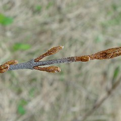 Winter buds: Shepherdia canadensis. ~ By Arthur Haines. ~ Copyright © 2020. ~ arthurhaines[at]wildblue.net