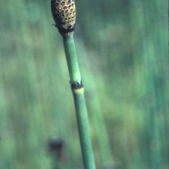 Spore cones: Equisetum hyemale. ~ By Frank Bramley. ~ Copyright © 2019 New England Wild Flower Society. ~ Image Request, images[at]newenglandwild.org