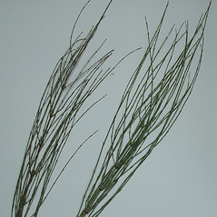 Plant form: Equisetum palustre. ~ By Arthur Haines. ~ Copyright © 2020. ~ arthurhaines[at]wildblue.net