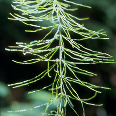 Plant form: Equisetum pratense. ~ By Arthur Haines. ~ Copyright © 2019. ~ arthurhaines[at]wildblue.net