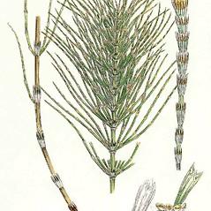 Leaves and nodes: Equisetum pratense. ~ By James Sowerby. ~  Public Domain. ~  ~ Robert W. Freckmann Herbarium, U. of Wisconsin-Stevens Point