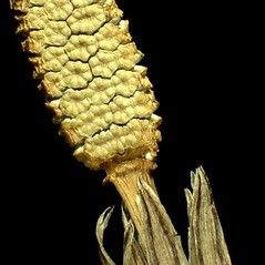 Spore cones: Equisetum pratense. ~ By Andrea Moro. ~ Copyright © 2019 CC BY-NC-SA 3.0. ~  ~ www.luirig.altervista.org
