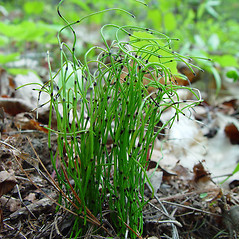 Plant form: Equisetum scirpoides. ~ By Arthur Haines. ~ Copyright © 2020. ~ arthurhaines[at]wildblue.net