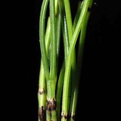 Leaves and nodes: Equisetum scirpoides. ~ By Ben Legler. ~ Copyright © 2019 Ben Legler. ~ mountainmarmot[at]hotmail.com ~ U. of Washington - WTU - Herbarium - biology.burke.washington.edu/herbarium/imagecollection.php