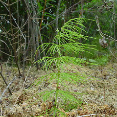 Plant form: Equisetum sylvaticum. ~ By Arthur Haines. ~ Copyright © 2021. ~ arthurhaines[at]wildblue.net