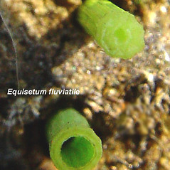 Comparison: Equisetum variegatum. ~  ~ Copyright © 2020. ~