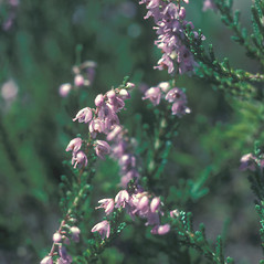Flowers: Calluna vulgaris. ~ By John Lynch. ~ Copyright © 2020 New England Wild Flower Society. ~ Image Request, images[at]newenglandwild.org