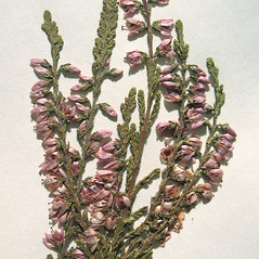 Flowers: Calluna vulgaris. ~ By Marilee Lovit. ~ Copyright © 2020 Marilee Lovit. ~ lovitm[at]gmail.com