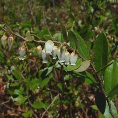 Flowers: Chamaedaphne calyculata. ~ By Arthur Haines. ~ Copyright © 2021. ~ arthurhaines[at]wildblue.net
