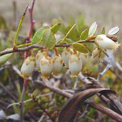 Flowers: Chamaedaphne calyculata. ~ By Glen Mittelhauser. ~ Copyright © 2020 Glen Mittelhauser. ~ www.mainenaturalhistory.org