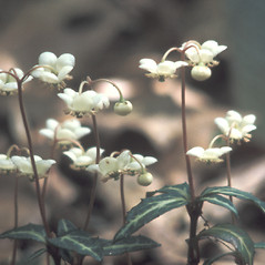 Flowers: Chimaphila maculata. ~ By Catherine Heffron. ~ Copyright © 2020 New England Wild Flower Society. ~ Image Request, images[at]newenglandwild.org