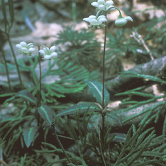 Flowers: Chimaphila maculata. ~ By Frank Bramley. ~ Copyright © 2021 New England Wild Flower Society. ~ Image Request, images[at]newenglandwild.org