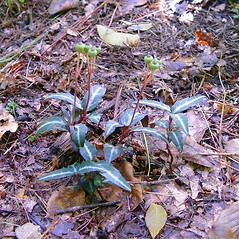 Plant form: Chimaphila maculata. ~ By Arthur Haines. ~ Copyright © 2020. ~ arthurhaines[at]wildblue.net