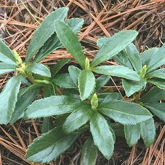 Winter buds: Chimaphila umbellata. ~ By Arieh Tal. ~ Copyright © 2020 Arieh Tal. ~ http://botphoto.com/ ~ Arieh Tal - botphoto.com