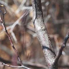 Bark: Eubotrys racemosa. ~ By Bryan Hamlin. ~ Copyright © 2021 Bryan Hamlin. ~ bryanthamlin[at]gmail.com