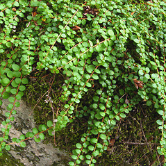Plant form: Gaultheria hispidula. ~ By Donna Kausen. ~ Copyright © 2020 Donna Kausen. ~ 33 Bears Den, Addison, ME 04606