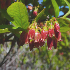 Flowers: Gaylussacia baccata. ~ By Glen Mittelhauser. ~ Copyright © 2019 Glen Mittelhauser. ~ www.mainenaturalhistory.org