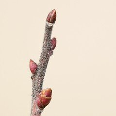 Winter buds: Gaylussacia baccata. ~ By Arieh Tal. ~ Copyright © 2021 Arieh Tal. ~ http://botphoto.com/ ~ Arieh Tal - botphoto.com