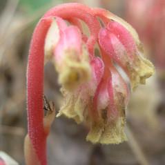 Flowers: Hypopitys lanuginosa. ~ By Bruce Patterson. ~ Copyright © 2021 Bruce Patterson. ~ foxpatterson[at]comcast.net