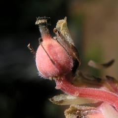 Fruits: Hypopitys lanuginosa. ~ By Bruce Patterson. ~ Copyright © 2021 Bruce Patterson. ~ foxpatterson[at]comcast.net