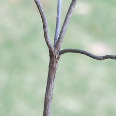 Bark: Kalmia angustifolia. ~ By Arieh Tal. ~ Copyright © 2021 Arieh Tal. ~ www.nttlphoto.com ~ Arieh Tal - www.nttlphoto.com