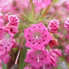 Flowers: Kalmia angustifolia. ~ By Arthur Haines. ~ Copyright © 2020. ~ arthurhaines[at]wildblue.net