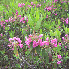 Plant form: Kalmia angustifolia. ~ By Donald Cameron. ~ Copyright © 2021 Donald Cameron. ~ No permission needed for non-commercial uses, with proper credit