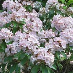 Flowers: Kalmia latifolia. ~ By Arieh Tal. ~ Copyright © 2021 Arieh Tal. ~ www.nttlphoto.com ~ Arieh Tal - www.nttlphoto.com