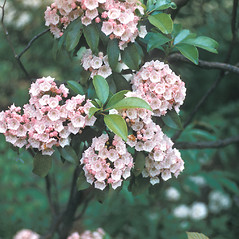 Flowers: Kalmia latifolia. ~ By Frank Bramley. ~ Copyright © 2021 New England Wild Flower Society. ~ Image Request, images[at]newenglandwild.org