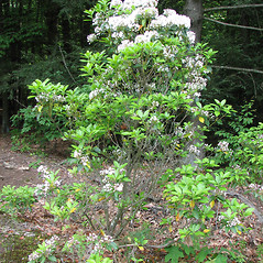 Plant form: Kalmia latifolia. ~ By Karen Searcy. ~ Copyright © 2021 Karen Searcy. ~ ksearcy[at]bio.umass.edu