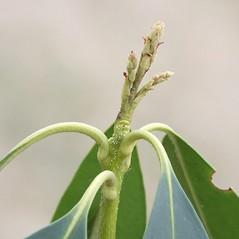 Winter buds: Kalmia latifolia. ~ By Arieh Tal. ~ Copyright © 2021 Arieh Tal. ~ www.nttlphoto.com ~ Arieh Tal - www.nttlphoto.com