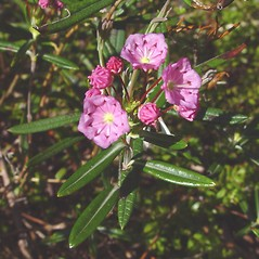 Flowers: Kalmia polifolia. ~ By Arthur Haines. ~ Copyright © 2021. ~ arthurhaines[at]wildblue.net