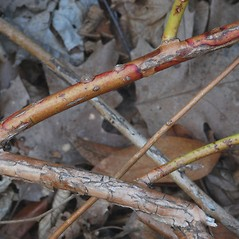 Bark: Leucothoe fontanesiana. ~ By Bryan Hamlin. ~ Copyright © 2021 Bryan Hamlin. ~ bryanthamlin[at]gmail.com