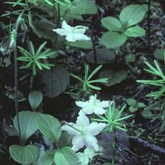 Flowers: Moneses uniflora. ~ By William Cullina. ~ Copyright © 2021 William Cullina. ~ bill[at]williamcullina.com