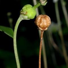 Fruits: Moneses uniflora. ~ By Keir Morse. ~ Copyright © 2021 Keir Morse. ~ www.keiriosity.com ~ www.keiriosity.com