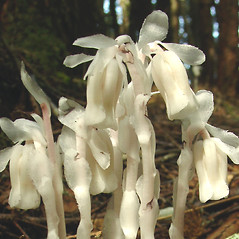 Flowers: Monotropa uniflora. ~ By Glen Mittelhauser. ~ Copyright © 2021 Glen Mittelhauser. ~ www.mainenaturalhistory.org