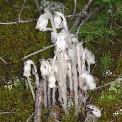 Plant form: Monotropa uniflora. ~ By Jill Weber. ~ Copyright © 2020 Jill Weber. ~ jillweber03[at]gmail.com