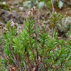 Plant form: Phyllodoce caerulea. ~ By Arthur Haines. ~ Copyright © 2021. ~ arthurhaines[at]wildblue.net