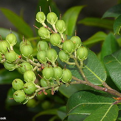 Fruits: Pieris floribunda. ~ By Will Cook. ~ Copyright © 2020 Will Cook. ~ cwcook[at]duke.edu, carolinanature.com ~ North Carolina Plant Photos - www.carolinanature.com/plants/