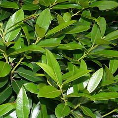 Leaves: Pieris floribunda. ~ By Will Cook. ~ Copyright © 2020 Will Cook. ~ cwcook[at]duke.edu, carolinanature.com ~ North Carolina Plant Photos - www.carolinanature.com/plants/