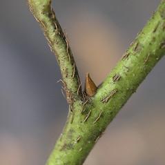 Winter buds: Pieris floribunda. ~ By Bruce Patterson. ~ Copyright © 2021 Bruce Patterson. ~ foxpatterson[at]comcast.net